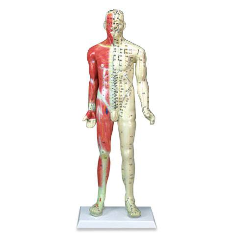 Anatomical World Wide Deluxe Acupuncture Model