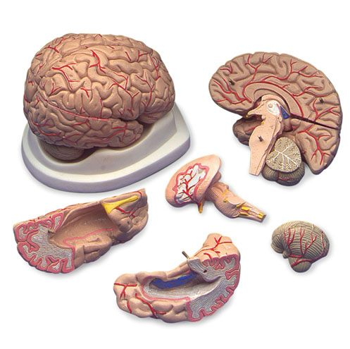 Anatomical World Wide Budget Brain with Arteries Model