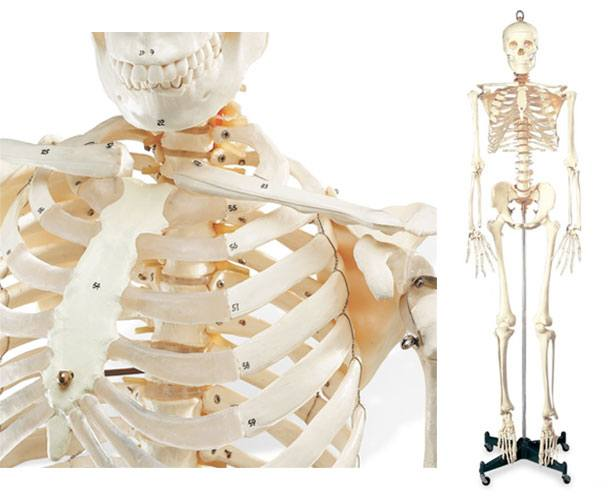 Anatomical World Wide Numbered Budget Bucky Skeleton