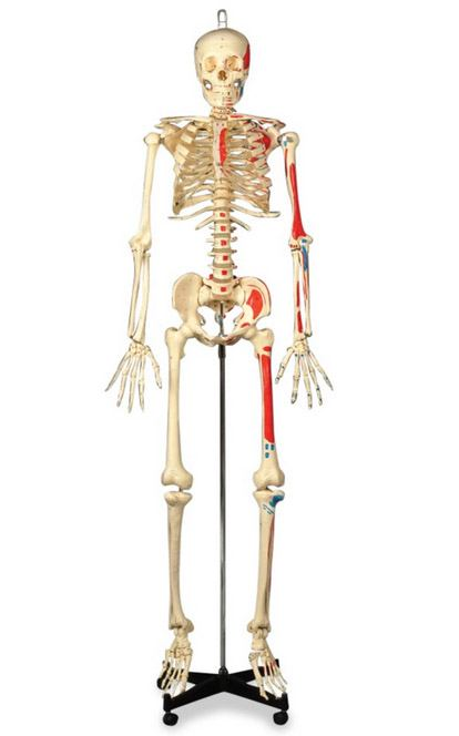 Anatomical World Wide Painted & Numbered Budget Bucky Model Skeleton