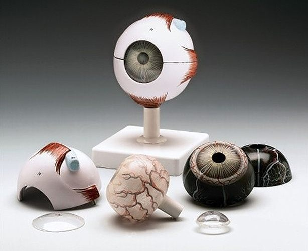 Anatomical World Wide Budget Whopper Eye Model