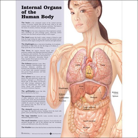 Anatomical World Wide Internal Organs of the Human Body Anatomical Chart
