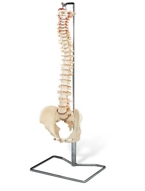 Life Size Spine Model with Stand
