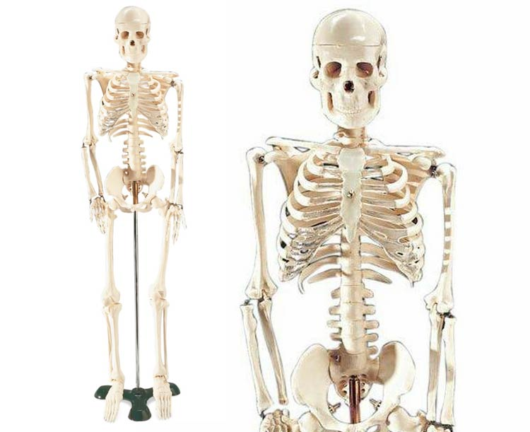 Mr. Thrifty Model Skeleton