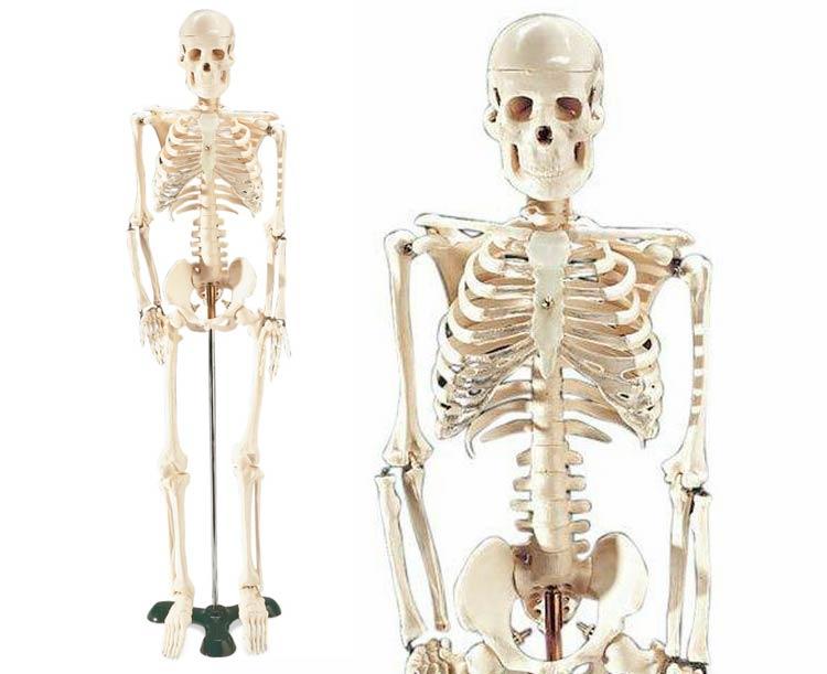 Anatomical World Wide Mr. Thrifty Model Skeleton